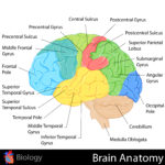 Your Brain Structure and Your Expertise